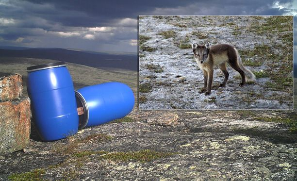 Naali on Suomen uhanalaisimpia eläimiä ja naalinruokinta-automaattien toivotaan auttamaan lajin selviytymistä.