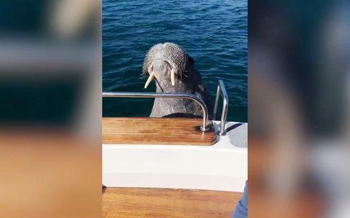 Utelias mursu halusi veneilemään – Wallyn seikkailut jatkuvat