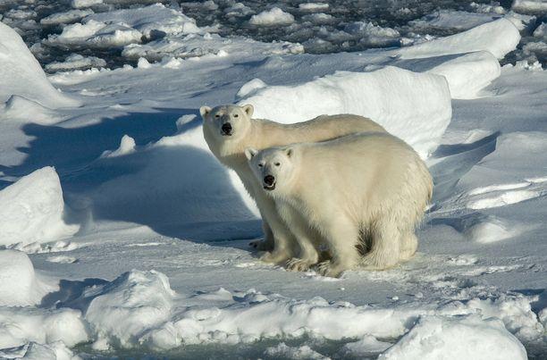 Ilmastonmuutos uhkaa esimerkiksi Huippuvuorilla eläviä jääkarhuja.