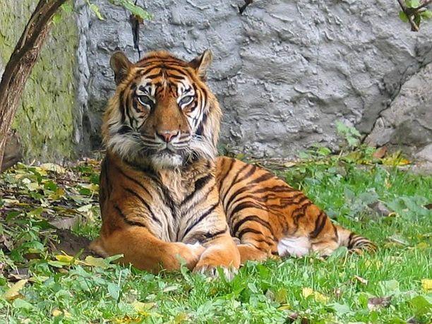 Tiikeri sai aitaukseensa kutsumattoman vieraan Kanadassa. Kuvan sumatrantiikeri ei liity tapaukseen.