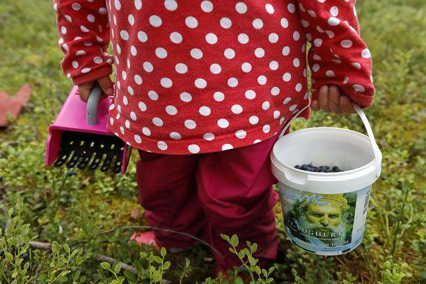 Eteläisessä Suomessa pääsee jo mustikkametsälle. Parin viikon sisällä marjan pitäisi olla poimintakypsää koko maassa.