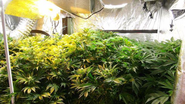 Varastotiloissa oli muun muassa kannabiskasveja, joista olisi saatu myyntiin kolme kiloa marihuanakukintoa.