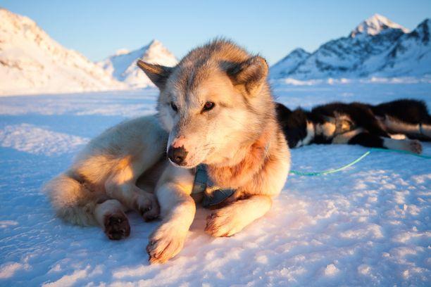 Koiravaljakoille on pitänyt etsiä uusia reittejä jään huvetessa.
