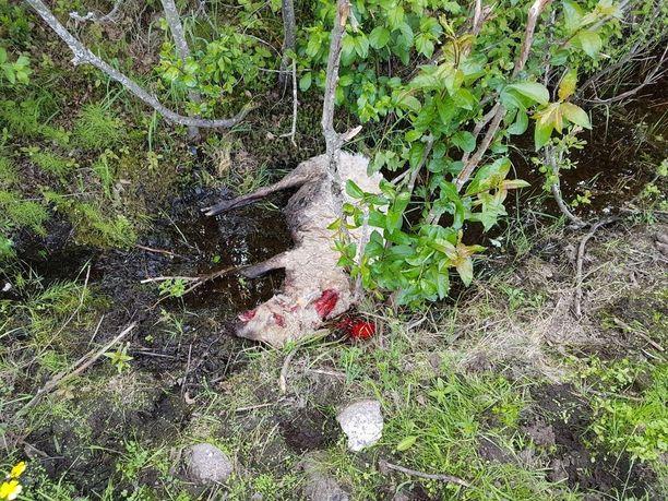 Riistanhoitoyhdistys arvioi raatelujälkien perusteella, että lampaat tappoi susi.