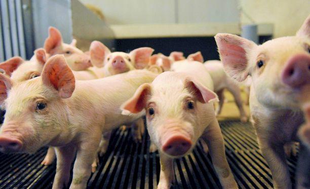 Viisi sikaa koki ainakin henkisesti kovia rekan kaatumisonnettomuudessa. Arkistokuva.