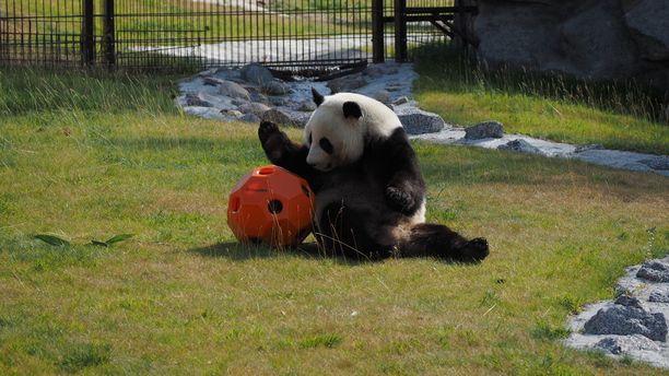 Pandat leikkivät Ähtärin eläinpuistossa autuaan tietämättömiä siitä keskustelusta, mitä niiden ympärillä käydään.