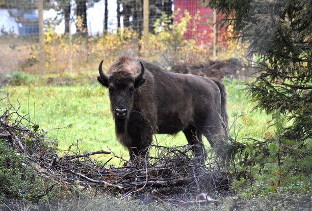 Visentti saattaa levitä Suomeen Karjalasta. Metsässä sen kohtaaminen voisi jännittää.
