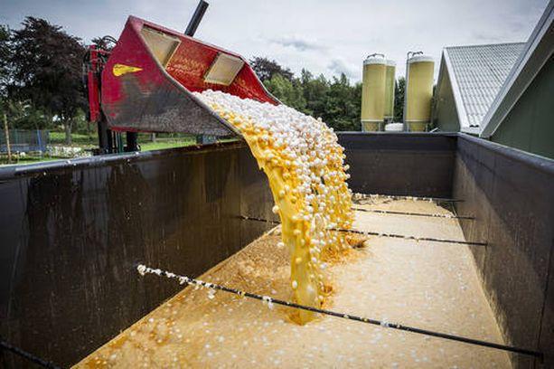 Myrkkyepäilyjen vuoksi Euroopassa on heitetty pois miljoonia kananmunia. Kuva Hollannista viime viikolta.