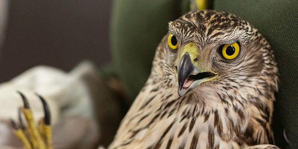 Kanahaukalla todettiin lintuinfluenssa.