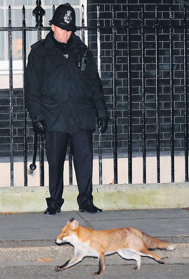 PIAN ALTA POIS Kettuja liikkuu jopa Lontoon keskustassa. Tässä kettu kipittelee Britannian pääministerin virkaasunnon ohi eilen illalla vähän ennen kuin Israelin pääministeri Ehud Olmert saapui jäähyväisvierailulle.