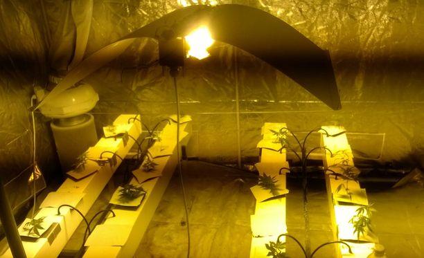 Poliisi löysi omakotitalon kellarista lähes sadan kannabiskasvin kasvattamon.