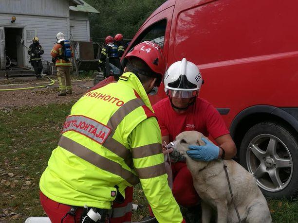 Koirat olivat hyvin heikossa kunnossa, mutta tokenivat nopeasti ensihoitajien osaavissa käsissä.