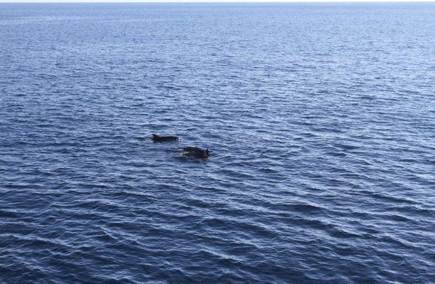 Merikarhun miehistö näkee Ville Hytösen mukaan delfiinejä viikoittain.