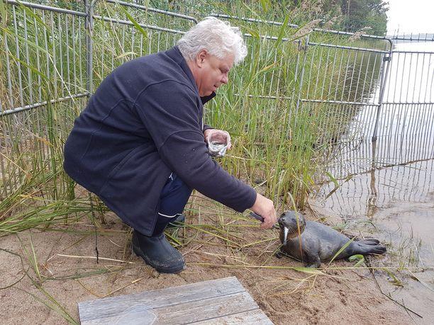 Eläinlääkäri Pekka Sarkanen ruokki aluksi Sanelma-kuuttia enemmän, mutta nyt hän pyrkii vieroittamaan norpan ihmisen avusta. Muikku on norpan herkkua.