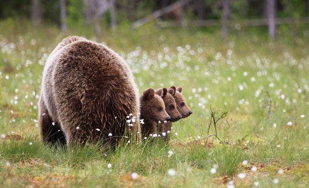 Luontokuvaaja Valtteri Mulkahainen kuvasi karhuemon ja kolme pentua kolmisen vuotta sitten Suomussalmen lähellä.