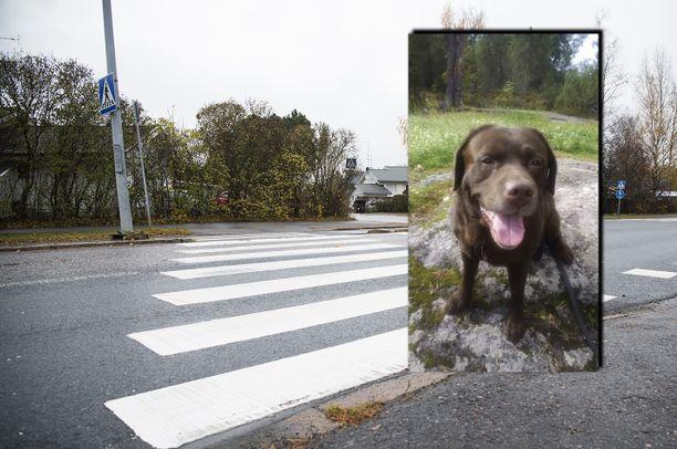 Labradorinnoutajan hengen vaatinut törmäys tapahtui suojatiellä. Kuvituskuva.