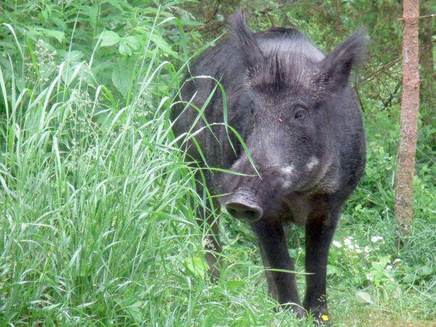Suomessa on Luonnonvarakeskuksen arvion mukaan jo yli 3000 villisikaa.