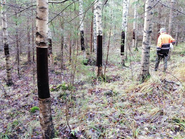 Jaakko Hännikäinen tutkii tuhoa, jonka joku sai aikaan viemällä koivujen tuohet Eija Hännikäisen koivikosta.