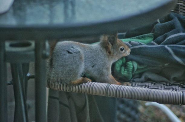 Oravalle kelpasi vain tietty viltti.
