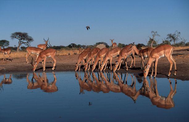 Metsästysmatkoilla tähtäimeen haetaan esimerkiksi erilaisia antilooppeja. Kuva kansallispuistosta Botswanasta.