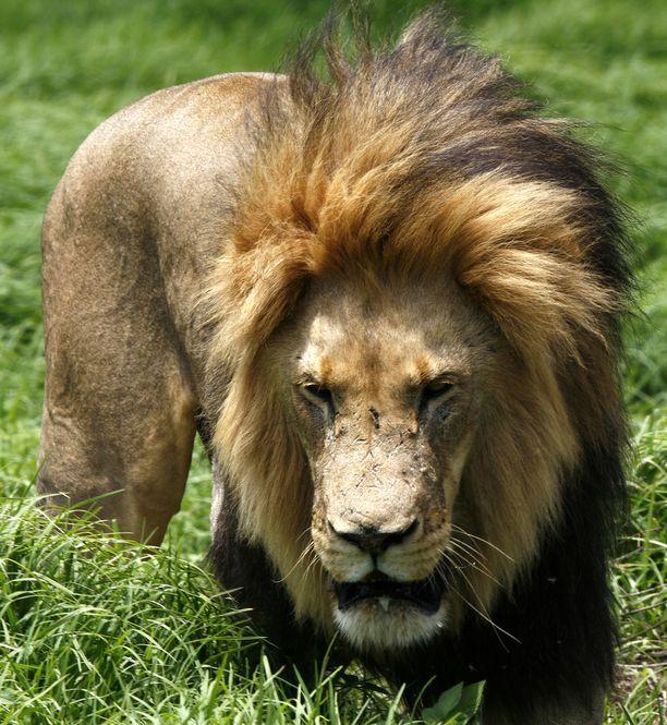 Leijonien lauma söi salametsästäjät. Kuvituskuva.