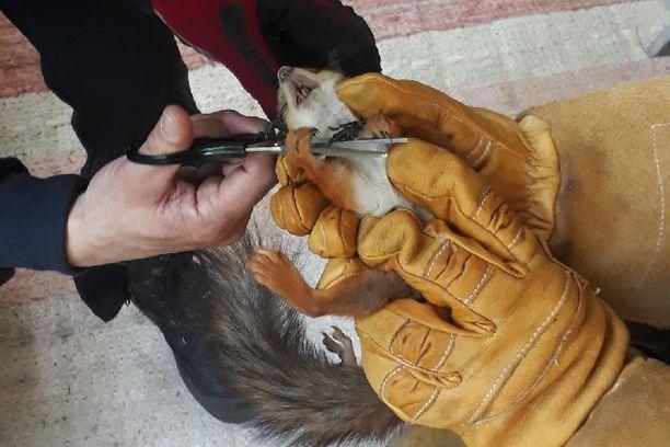 Parvekkeen suojaverkko kietoutui pahemman kerran kolmannen kerroksen parvekkeelle kiivenneen oravan kaulaan. Pelastusoperaatioon tarvittiin paksut hanskat ja sakset.
