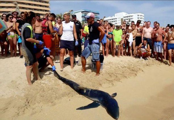 Pahoin loukkaantunut hai saatiin kiinni sunnuntaina iltapäivällä.