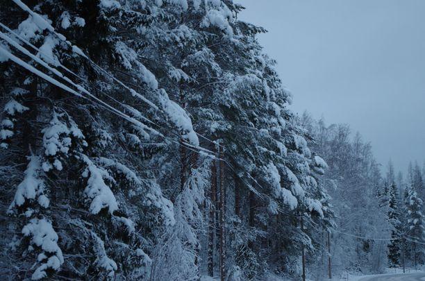 Sähkövikoja aiheuttavat märän lumen painosta sähkölinjoille taipuvat puut tai niiden oksat. Kuva on  Teiskosta vuodelta 2015.