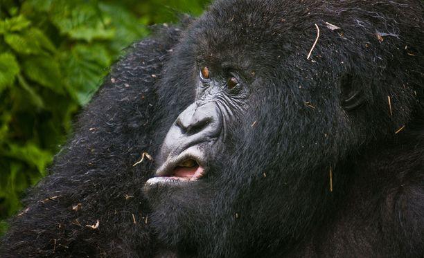 Tätä gorillaa ei paljon kiinnostele.
