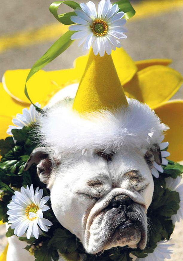 TÖTTERÖ TÄYTEEN! Illinoisissa järjestetyssä koiranäyttelyssä herätti yleistä pahennusta tämä englanninbulldoggi, joka näytti aloittaneen vapunvieton aivan liian varhain ja kohtalokkain seurauksin.