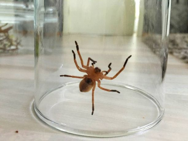 Hämähäkki on suomalaisittain suuri, viitisen senttiä, mutta lajinsa edustajaksi melko pieni.