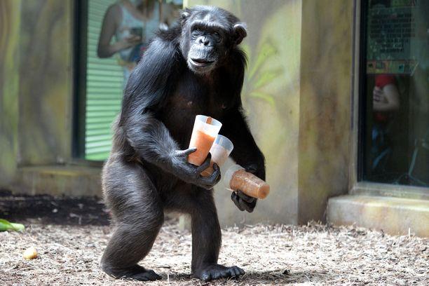 Simpanssien tervehdykset olivat bonoboita räväkämpiä.