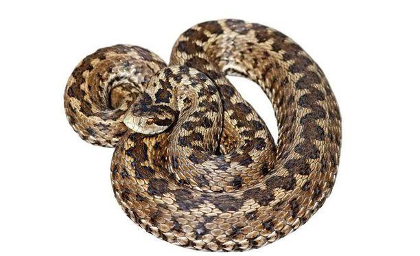 Kyy on Suomen ainoa luonnonvarainen myrkyllinen käärme.