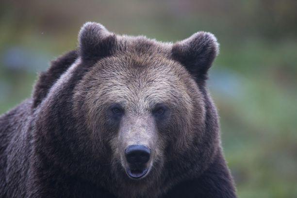 Karhu ehti kulkea pitkään pyyntirauta etujalassaan. Kuvituskuva.