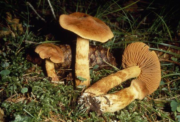 Tappavan myrkyllinen suippumyrkkyseitikki kasvaa tuoreissa ja kosteissa kuusikoissa. Se kasvaa yleisenä Etelä- ja Keski-Suomessa.