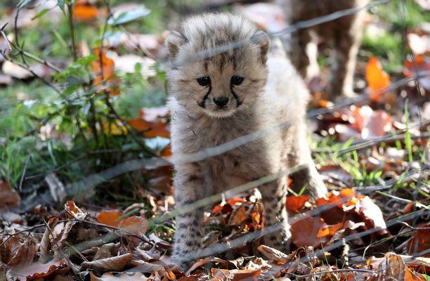 Gepardikolmoset tutustuvat maailmaan.