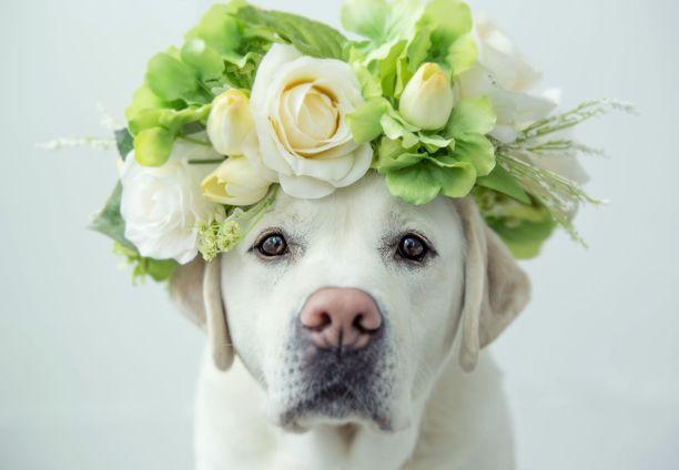 Labradorinoutajalla on aihetta juhlaan. Se oli viime vuoden rekisteröidyin koirarotu.