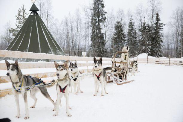 Husky-safareilla on käynyt paljon ulkomaalaisia matkailijoita, joten tämän talven tilanne on hyvin hankala. Kuvituskuva.