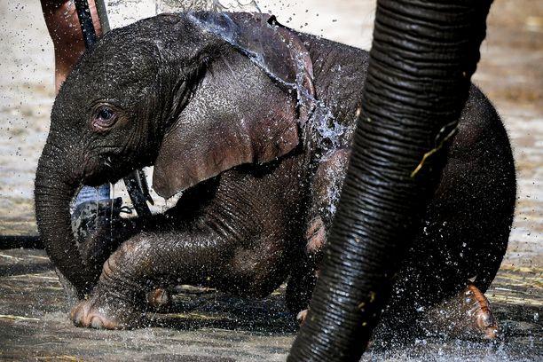 Pahin uhka norsuille on salametsästys.