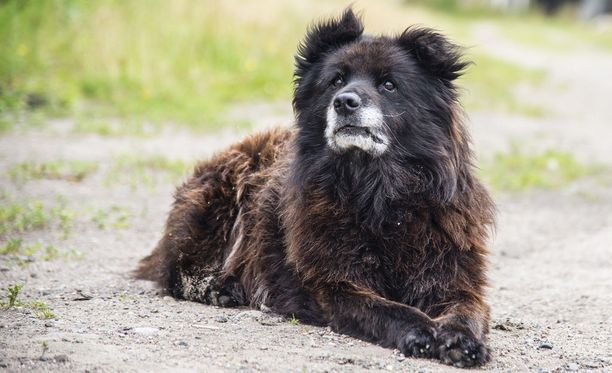 Kaukaasianpaimenkoira on laumanvartijaksi jalostettu koira. Se varjelee reviiriään pelottomasti. Kuvassa on venäläinen koira.