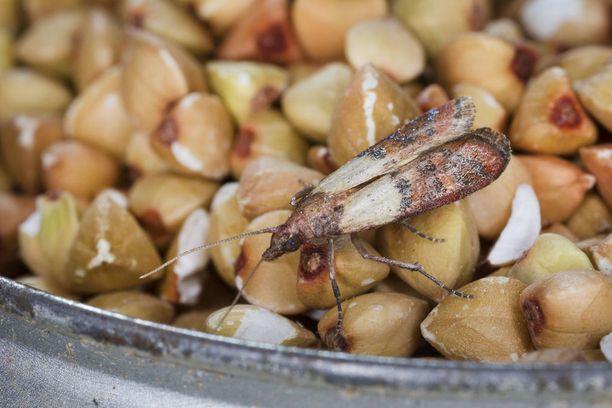 Keittökoisa tulee Suomeen esimerkiksi kuivattujen hedelmien, manteleiden ja pähkinöiden mukana.