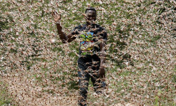 Mies juoksee heinäsirkkaparven läpi Enziussa noin 200 kilometrin päässä Kenian pääkaupungista Nairobista.