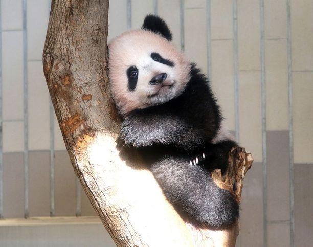 Xiang Xiang leikki puissa tokiolaiseläintarhassa.