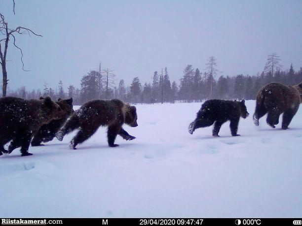 Myöhemmin huhtikuussa karhut tallentuivat vielä riistakameran ottamalle kuvalla. Juha Lyytikäistä kuva sykähdytti.