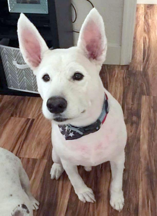 Omistajan mukaan Nanuk näytti trimmauksen jäljiltä bullterrieriltä, eikä hän aluksi tunnistanut koiraansa.