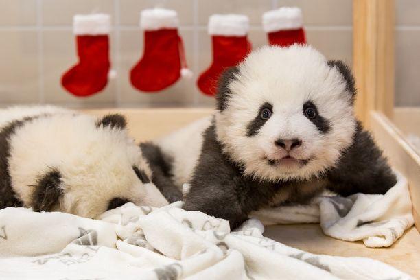 Pandat ottavat jo haparoivia askeleita.