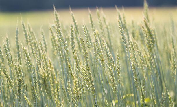 Jos sää ei lämpene ja sateet taukoa, osa viljoista ei ehdi kypsyä. Esimerkiksi vehnäsato voi pahimmillaan jäädä paikoin kokonaan korjaamatta.