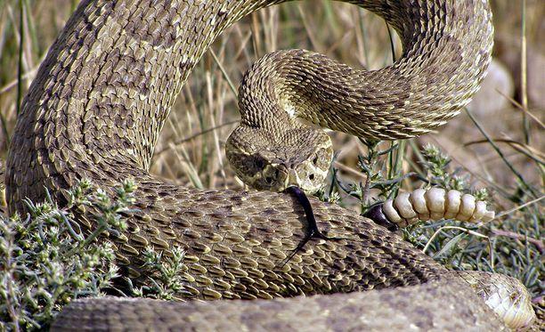 Kalkkarokäärme puri Daniel Hohs Coloradon Kalliovuorilla.