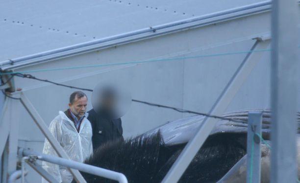 Valaanpyyntiyhtiön johtaja Kristjan Loftsson tarkastelemassa pyydettyä valasta.