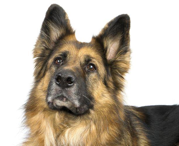 Koronaviruksen aiheuttaman taudin saanut saksanpaimenkoira kuoli USA:ssa. Kuvan koira ei liity tapaukseen.